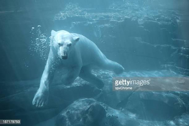 北極グマ-プールの水中