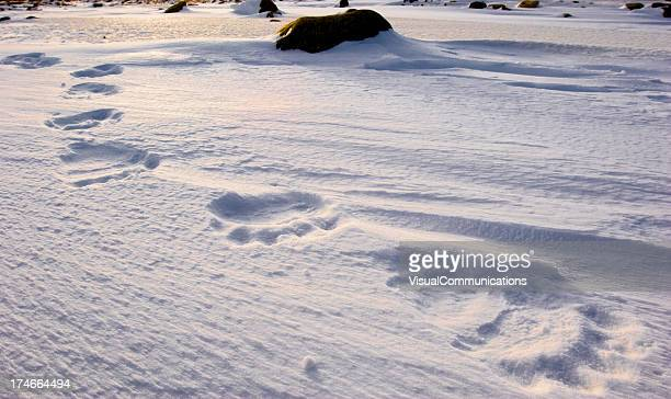 polar bear tracks.