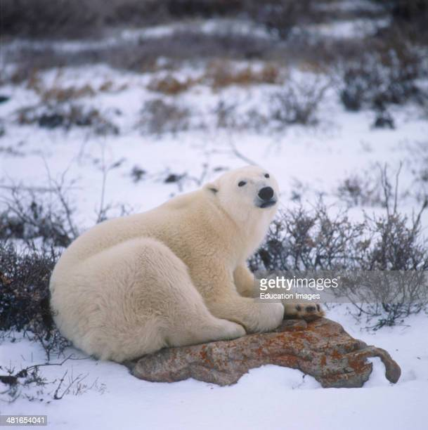 Polar Bear Ursus maritimus in the Hudson Bay The Inuit call him Nanook and say that it has supernatural powers It is a big muscular bear with a...