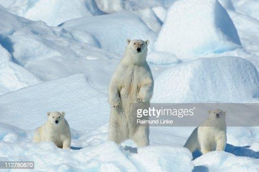 Polar bear, Ursus maritimus : Stock Photo