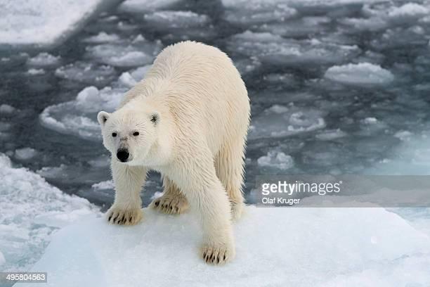 Polar Bear -Ursus maritimus- standing on pack ice, Spitsbergen Island, Svalbard Archipelago, Svalbard and Jan Mayen, Norway