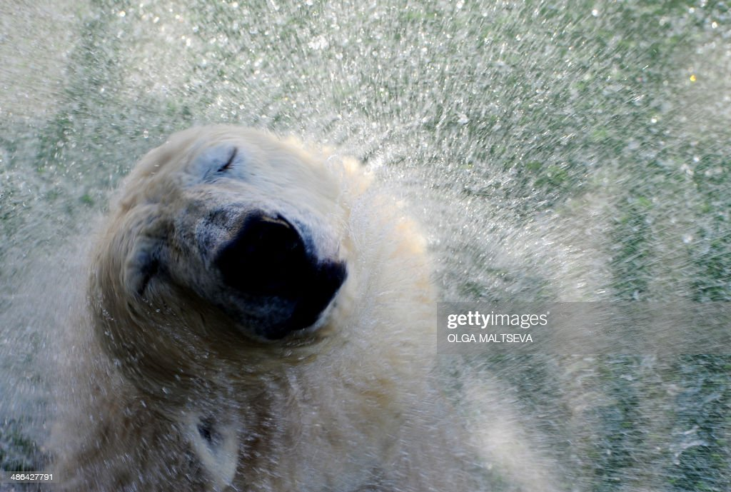 Polar bear Uslada shakes itself dry in their enclosure at the St. Petersburg Zoo, on April 24, 2014. AFP PHOTO / OLGA MALTSEVA