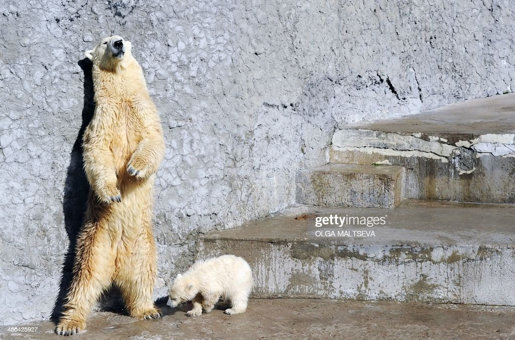 Polar bear Uslada stands next to its five-month-old cub in their enclosure at the St. Petersburg Zoo, on April 24, 2014, during the cub's first public appearance. AFP PHOTO / OLGA MALTSEVA