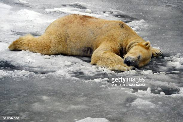 Polar bear Volodia lies on ice in its enclosure at the zoo in Berlin on January 8 2017 / AFP / dpa / Maurizio Gambarini / Germany OUT