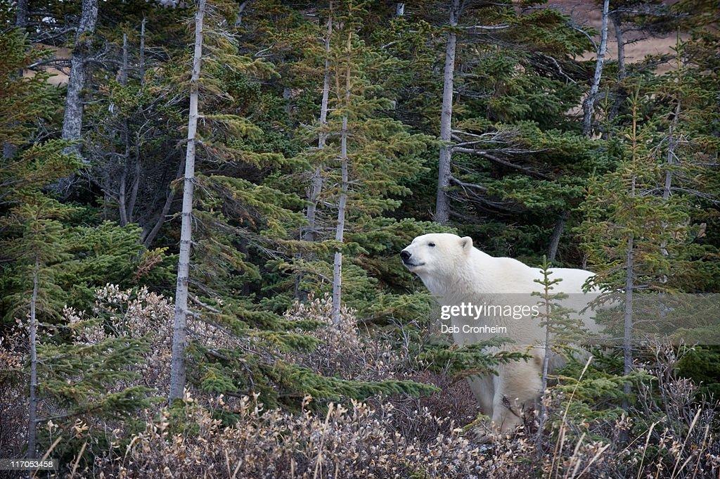 Polar bear walking in boreal forest