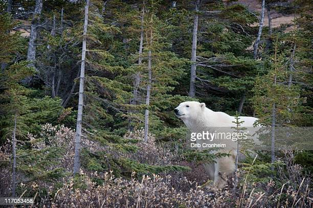 Polar bear walking in boreal forest