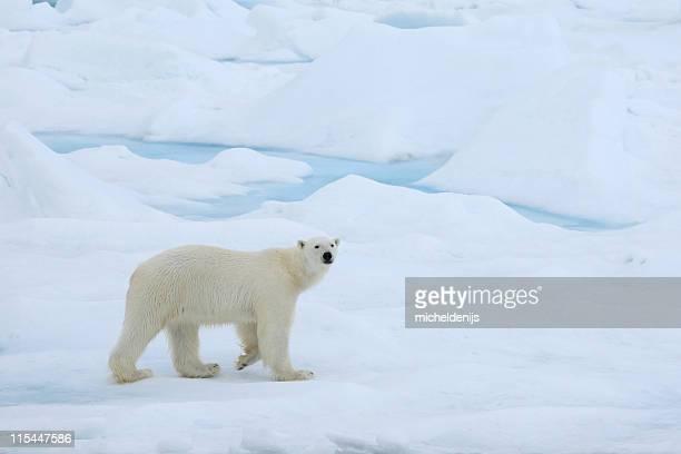 A polar bear wandering in the Arctic ice