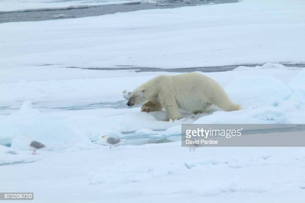 A Polar Bear wanders through the thick snow of the Arctic