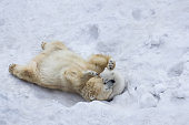 Polar bear with cub. Mother kiss.