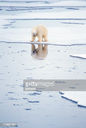 Oso polar con reflejo