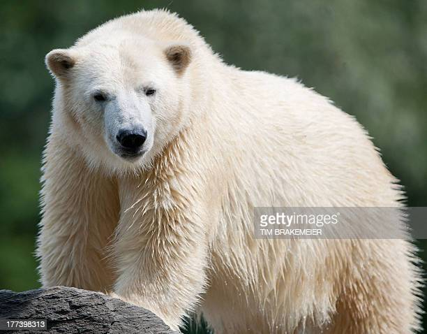 Polar bear Wolodja explores his enclosure at the Tierpark Friedrichsfelde zoo in Berlin on August 23 2013 Wolodja was born on November 27 2011 at the...