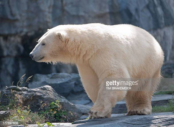 Polar bear Wolodja inspects his enclosure at the Tierpark Friedrichsfelde zoo in Berlin on August 23 2013 Wolodja was born on November 27 2011 at the...