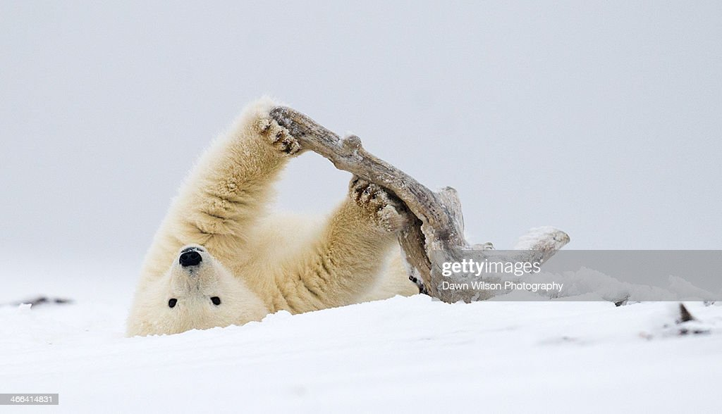 Polar Bear Workout With Driftwood