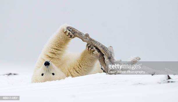 Polar Bear Workout With Driftwood