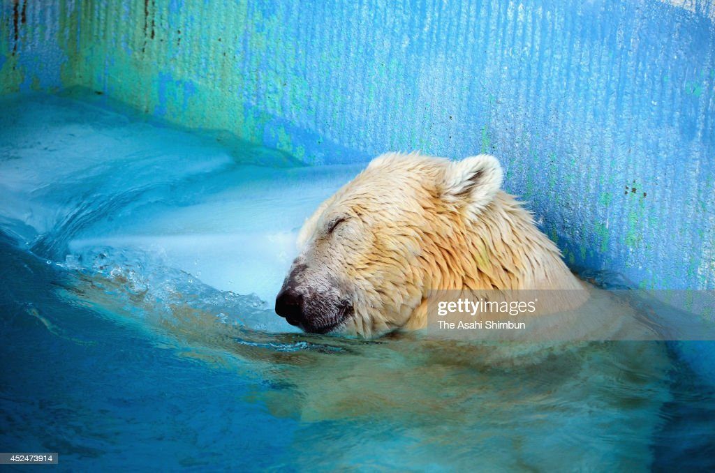 Polar bear 'Yuki' leans on ice cubes given to cool down as summer heat continues at Tokuyama Zoo on July 20, 2014 in Shunan, Yamaguchi, Japan.