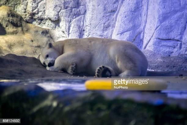 Polar bears Aurora and Peregrino live in the São Paulo Aquarium in Ipiranga South Zone of the capital on 23 August 2017 Born in cold Russia mammals...