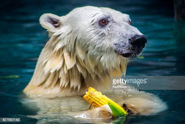 Polar bears Aurora and Peregrino respectively 5 and 6 years old live in the São Paulo Aquarium in Ipiranga South Zone of the capital on 4 December...