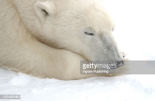 Polar Bears Canada North : Stock Photo