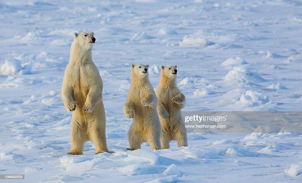 Polar Bears, Churchill, Manitoba 2008 : Stock Photo