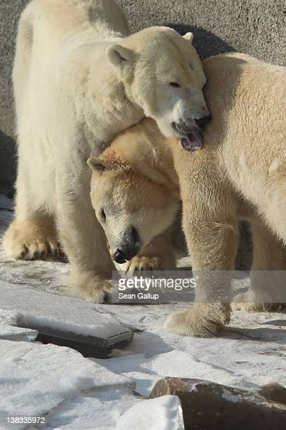 Polar bears cuddle while standing on ice in their outdoor enclosure at the Berlin Zoo on February 6 2012 in Berlin Germany Temperatures plummeted to...