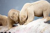 Polar Bears feeding on Dead Fin Whale
