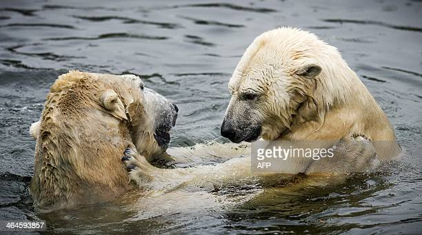 Polar bears Freedom and Viktor cuddle each other in the water at the Ouwehands Zoo in Rhenen on January 23 2014 The two bears were reunited after...