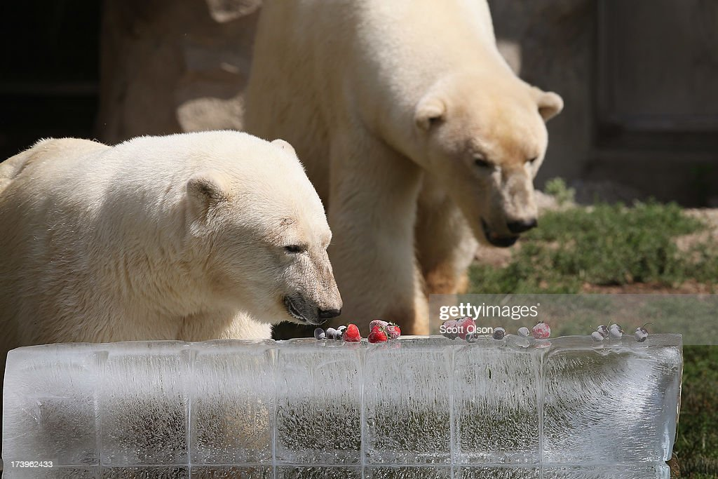 Polar bears get a treat of fruit served on a block of ice to help them stay cool in their enclosure at Brookfield Zoo on July 18, 2013 in Brookfield, Illinois. A heat wave continues to grip much of the country today with temperatures expected to top 90 degrees in 47 states.