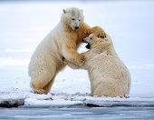 Polar Bears Mock Fighting