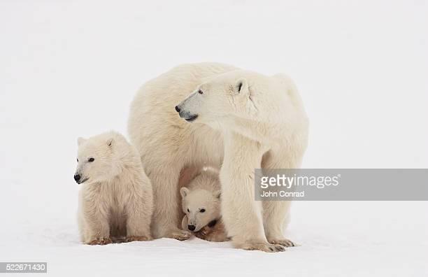 Polar Bears on the Look-out