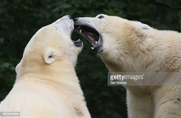 Polar Bears Snarling