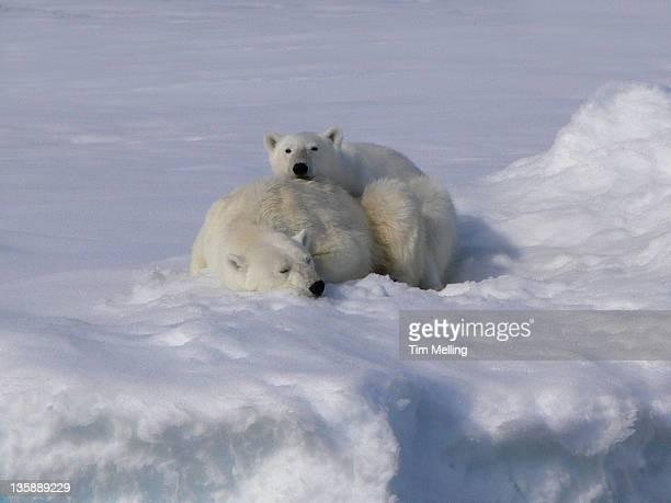 Polar bears snoozing in snow