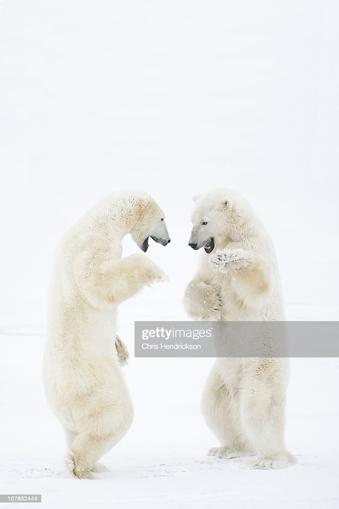 Polar Bears sparring in snow.