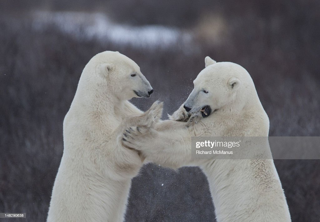 Polar bears sparring. : Stock Photo