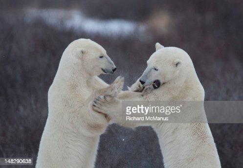Polar bears sparring. : Stock Photo