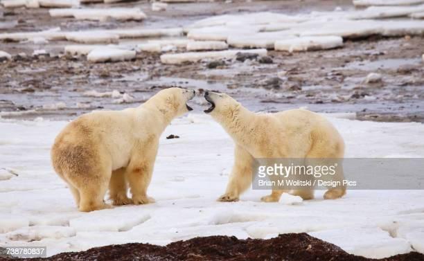 Polar bears (ursus maritimus) sparring