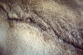 Polar fox fur texture for background. Grey wolf skin.