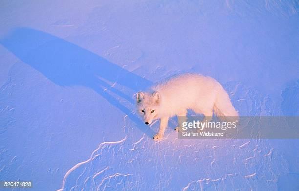 Polar fox going through snow