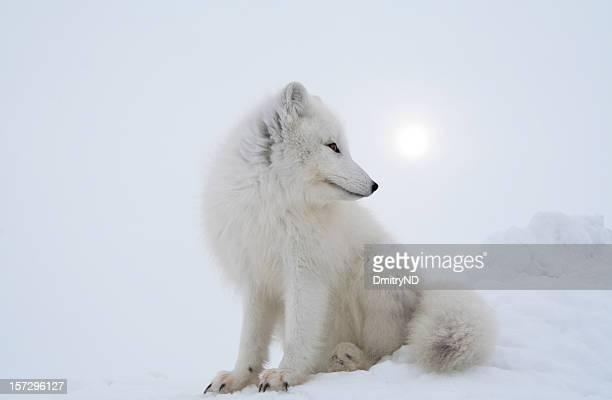 Polar fox in overcast day.