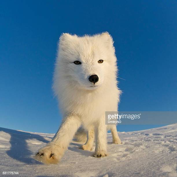 Polar fox looking at the camera.