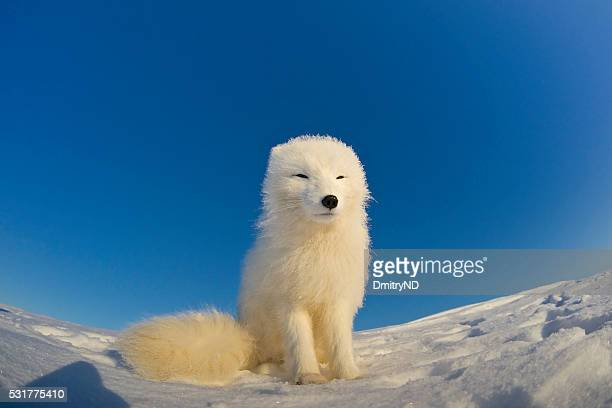 Polar fox observes tundra.