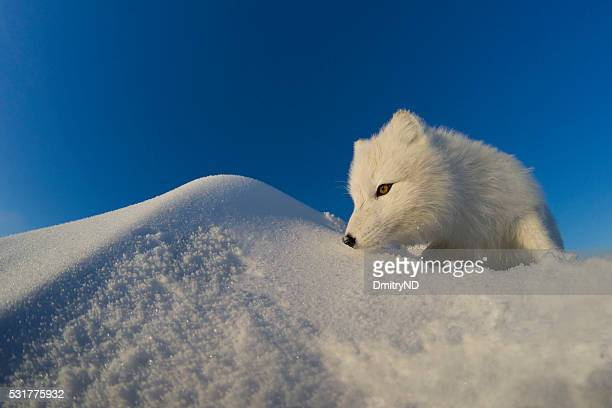 Polar fox observes tundra.