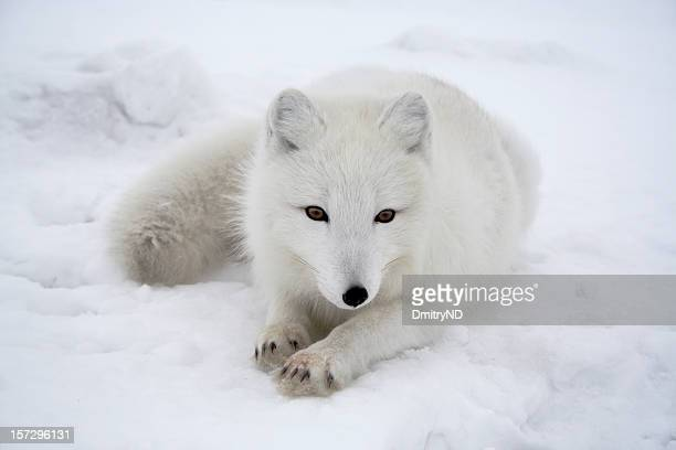 Polar fox. Pending.