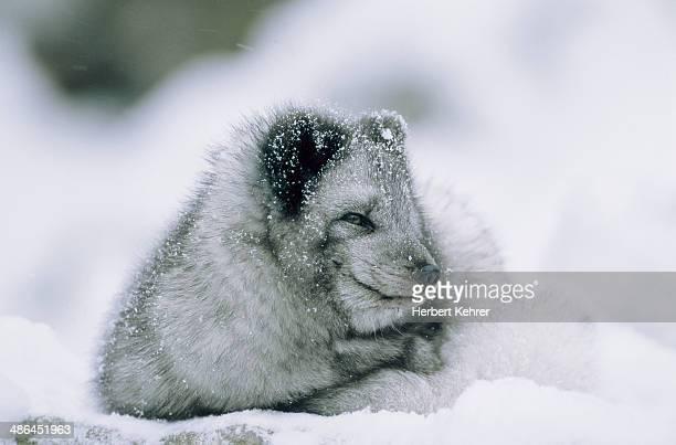 Polar fox sitting in the snow