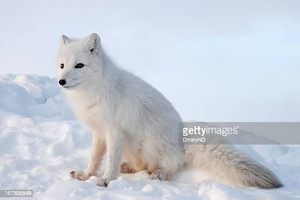 Polar fox. Winter.