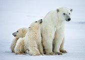 Polar she-bear with cubs. A Polar she-bear with two small bear cubs. Canada