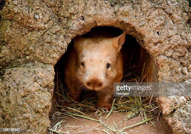 'Polar' who is one of two rare golden southern hairy nosed wombats is seen at Cleland Wildlife Park on May 1 2013 in the Adelaide Hills Australia...