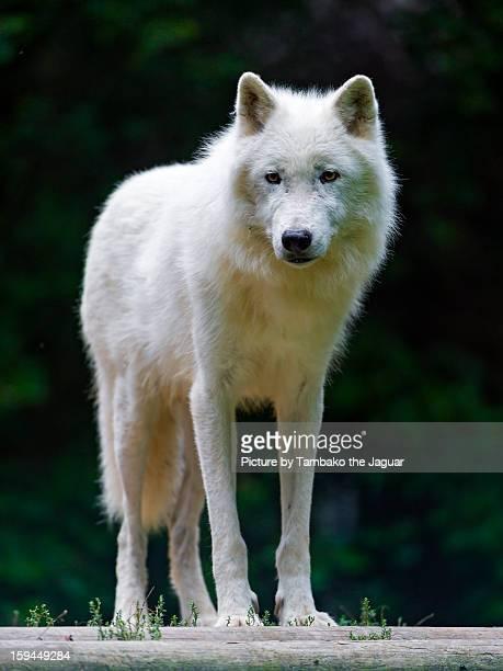 Polar wolf on the podest
