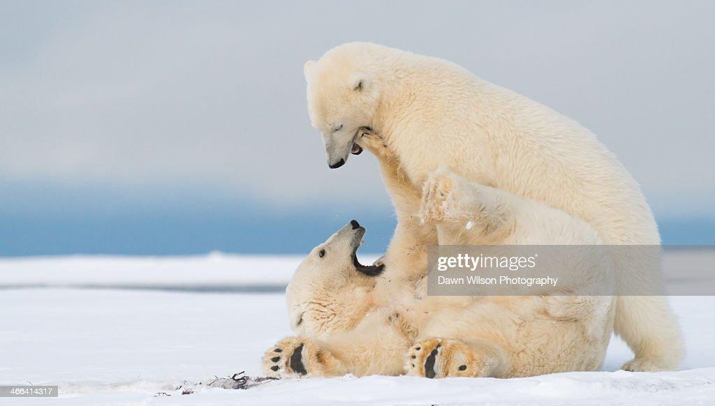 Polar_bear_3 : Stock Photo