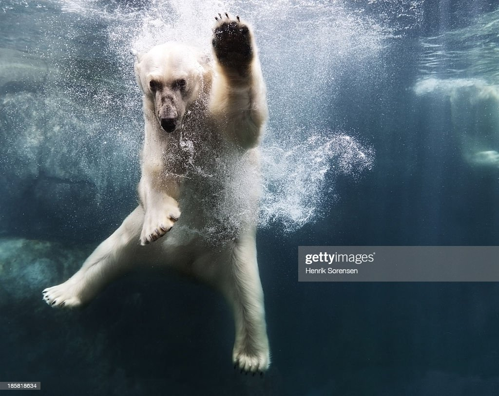 Polarbear in water : Stock Photo