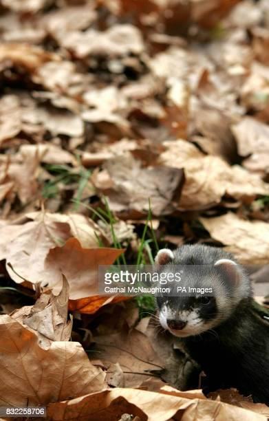 A Polecat Ferret plays amongst the fallen leaves as its owner takes it for a walk in St James Park central London where Summer is making way for...
